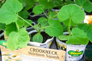 crookneck Heirloom squash
